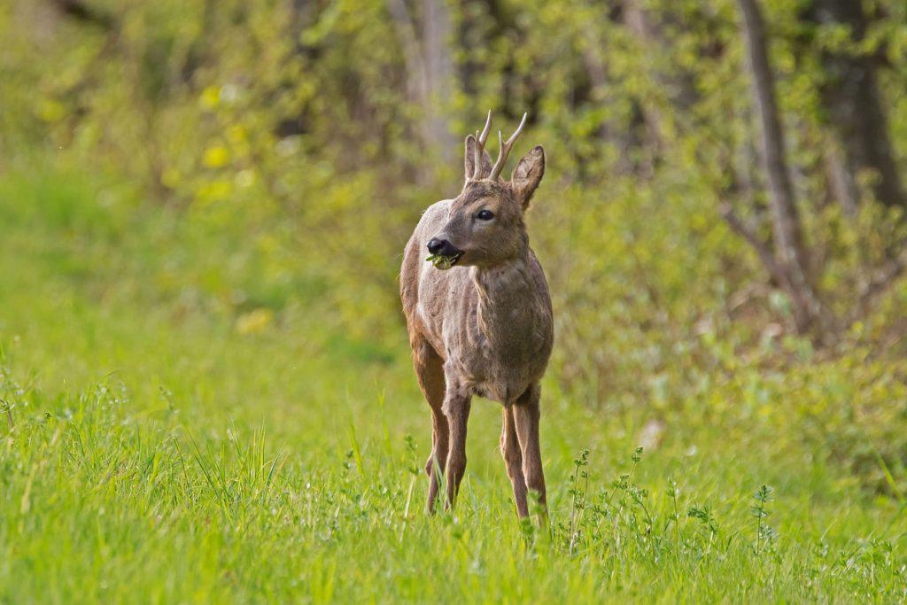 roe-deer-4153220_1920